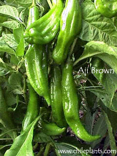 AJI BROWN