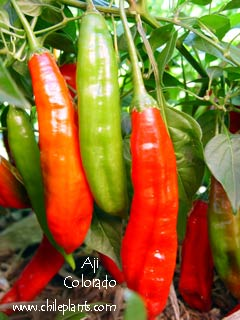 AJI COLORADO