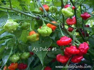 aji-dulce-1-pepper-plants.jpg