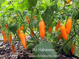 Aji habanero live chile pepper plant What to do with habanero peppers from garden
