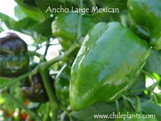 ANCHO LARGE MEXICAN
