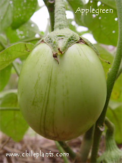 Applegreen Eggplant Plants