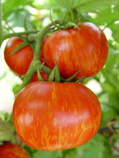 180 varieties of Tomato Plants