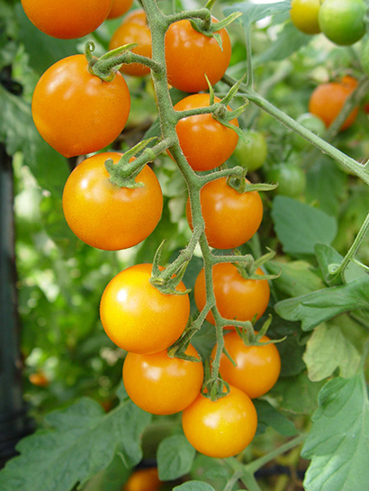 Sunsugar FT Hybrid Tomato Plants