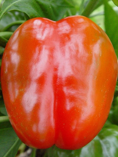 Big Red Pepper Plants