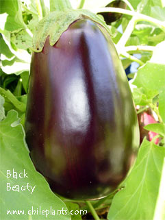 Black Beauty Eggplant Plants
