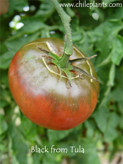 Black From Tula Tomato Plants