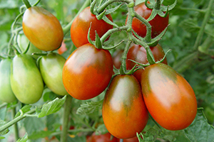 Oval Cherry Tomatoes