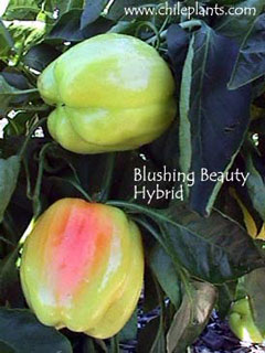 Sweet Blushing Beauty Seeds Pepper Seed