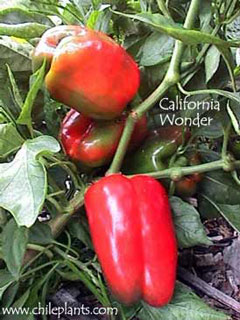 CALIFORNIA WONDER
