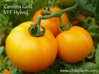 CAROLINA GOLD VFF HYBRID