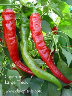 Cayenne Large Thick Pepper Plants