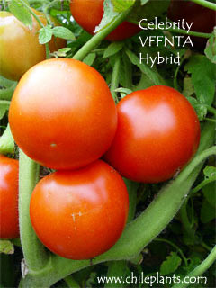 Best Tomato Plants Chileplants Com