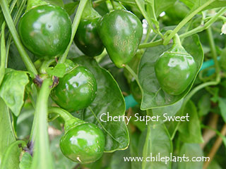 CHERRY SUPER SWEET