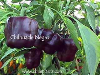 CHILHUACLE NEGRO