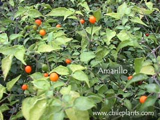 CHILTEPIN AMARILLO