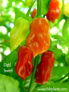 DATIL SWEET
