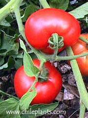 Early Girl VFF Hybrid Improved Tomato Plants