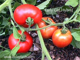 EARLY GIRL VFF HYBRID IMPROVED