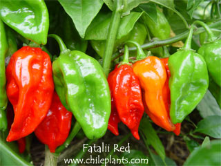 FATALII RED