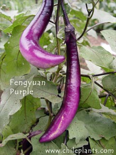 Fengyuan Purple Eggplant Plants