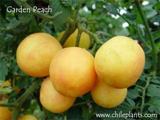 Best Tomato Plants ChilePlantscom