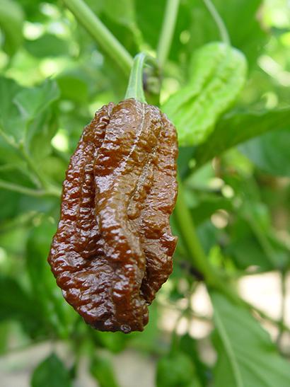 Ghost pepper bhut jolokia chileplants com