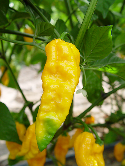 Ghost Pepper Bhut Jolokia Fresh Peppers
