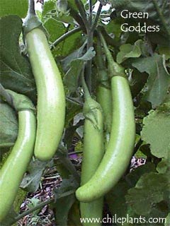 Green Goddess Hybrid Eggplant Plants