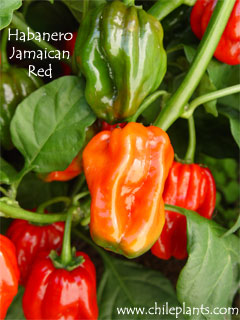 HABANERO JAMAICAN RED