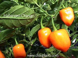 Habanero orange live chile pepper plant What to do with habanero peppers from garden