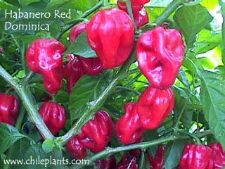 HABANERO RED DOMINICA
