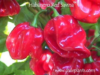 b0bab3a16945 ChilePlants.com - HABANERO RED SAVINA® - Live Chile Pepper Plant