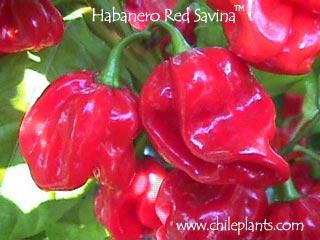 b0bab3a16945 ChilePlants.com - HABANERO RED SAVINA® - Live Chile Pepper Plant