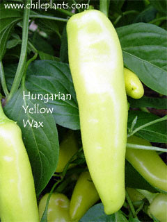 HUNGARIAN YELLOW WAX