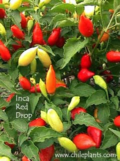 INCA RED DROP