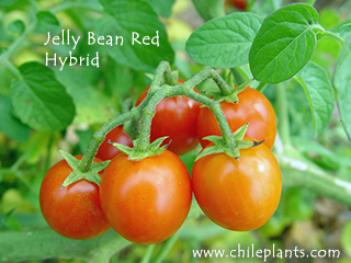JELLY BEAN RED HYBRID