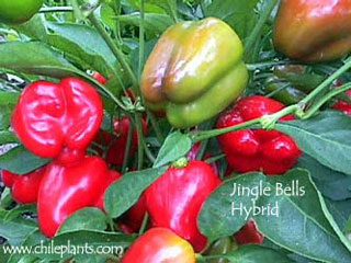JINGLE BELLS HYBRID