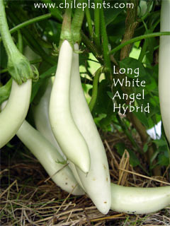 Long White Angel Hybrid Eggplant Plants