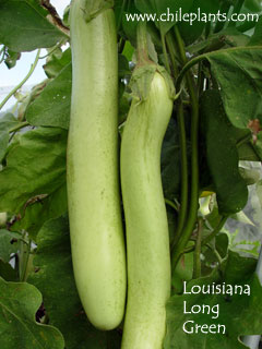 LOUISIANA LONG GREEN
