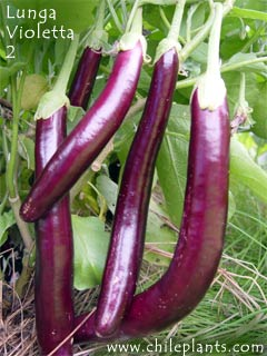 חציל Violetta lunga Image