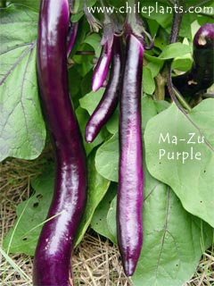 Ma-Zu Purple Eggplant Plants