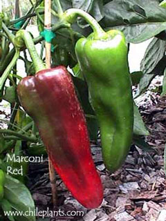 MARCONI RED