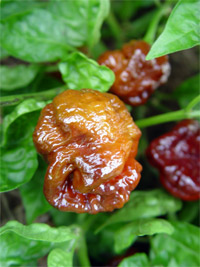 Moruga Scorpion Pepper Plants