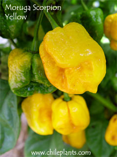 MORUGA SCORPION YELLOW