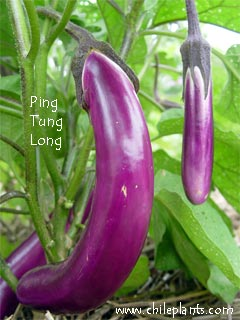 Ping Tung Long Eggplant Plants