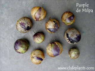 PURPLE DE MILPA