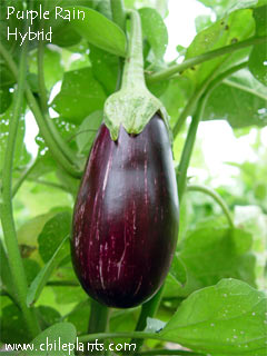 Purple Rain Hybrid Eggplant Plants