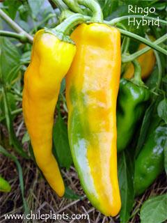 Pepper Sweet 60 Seeds - Long Yellow Ringo Vegetable