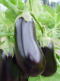 65 varieties of Eggplant Plants